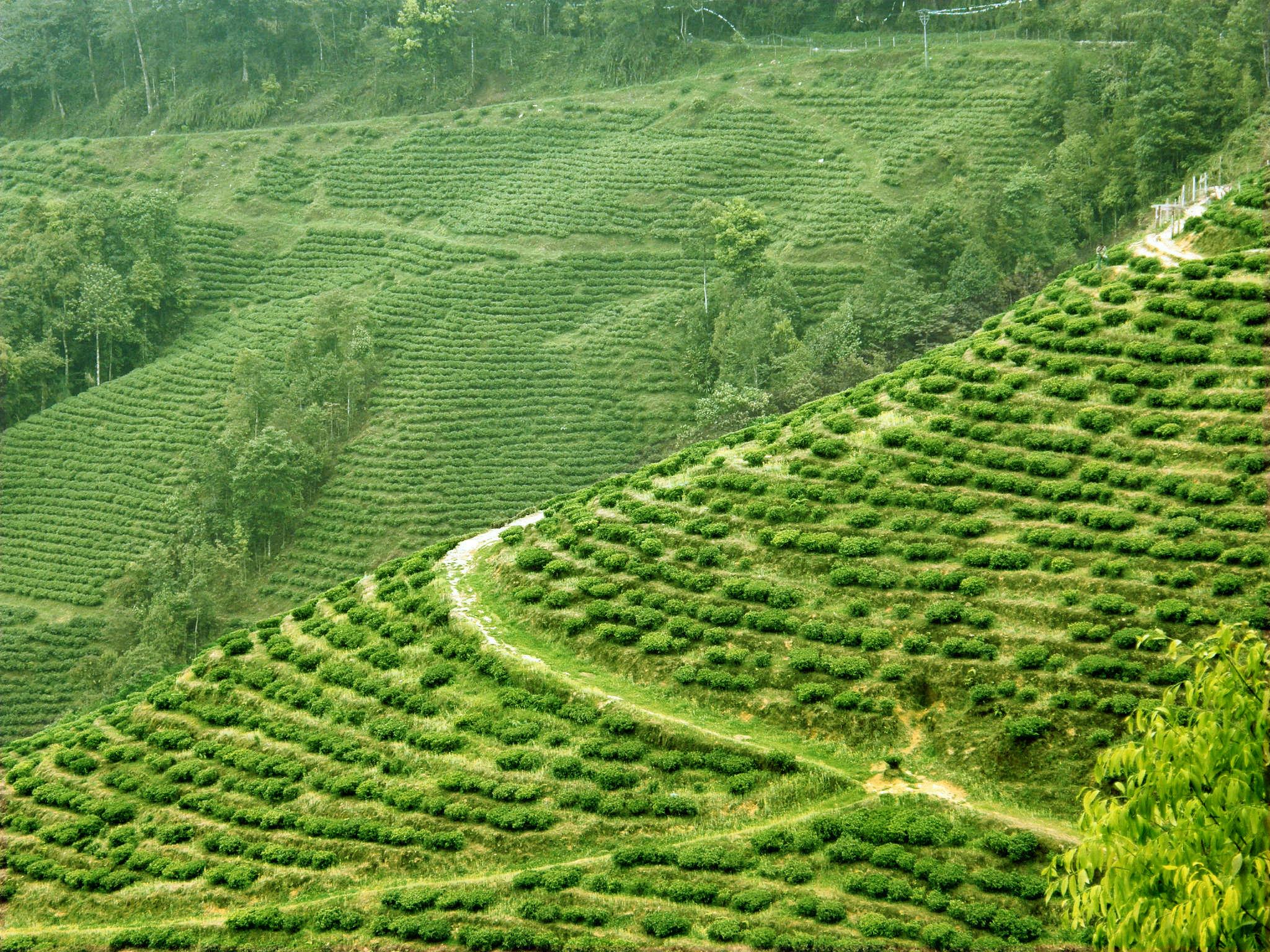 (84) Coffee & Tea plantations | Wonders of the World, Best ...